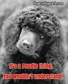 All the things we all enjoy about the Active Poodle Dog #poodlelove #toypoodlepuppy #PoodlePup