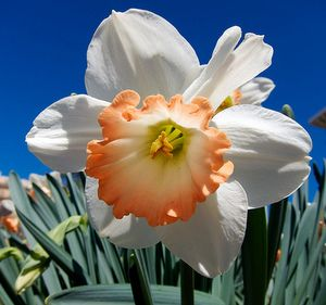 Planting Daffodil Bulbs And Narcissus Flowers For Spring Color Planting Daffodil Bulbs Narcissus Flower Daffodil Bulbs