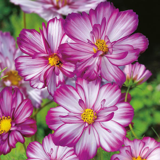 Sweet Kisses Cosmos Cosmos Sweet Kisses Cosmos Bipinnatus Cosmos Sweet Kisses Boast Frilly Semi Double White Blooms Cosmos Flowers Flower Seeds Plants