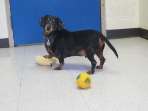 Adopt Harley Dee On With Images Adoptable Dachshund Dog Dog Sounds Family Pet