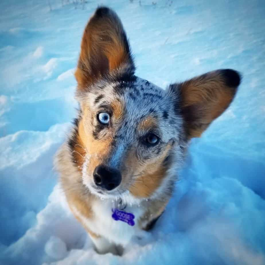 Corgi Australian Shepherd Mixes Are Adorable But Are They The