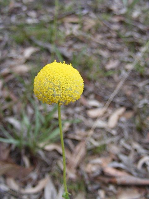 Craspedia Variabilis Australian Native Flowers Billy Buttons Craspedia