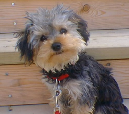 3. Yorkshire Terrier + Poodle lai = Yorkipoo