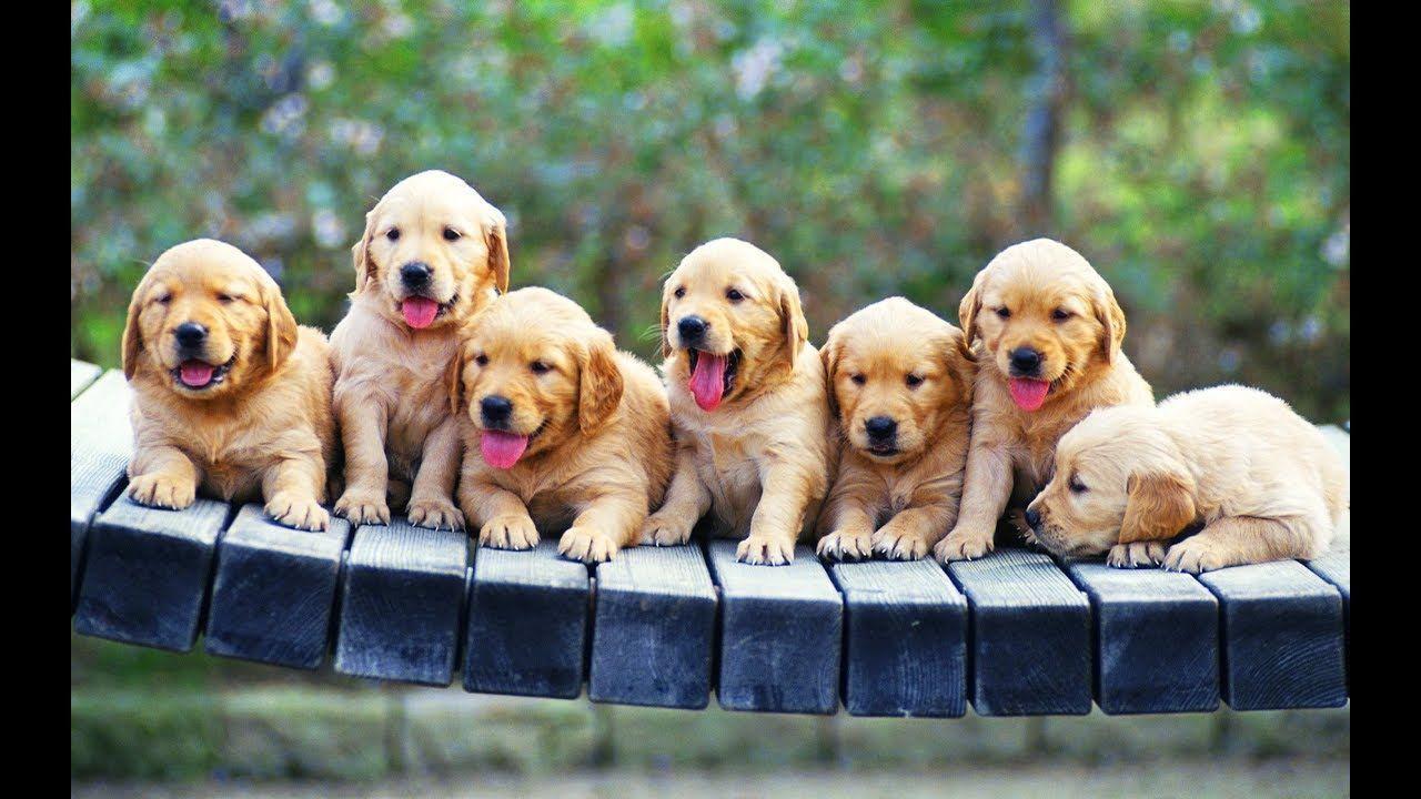 Funny Cutest Golden Retriever Puppies Videos Compilation 44