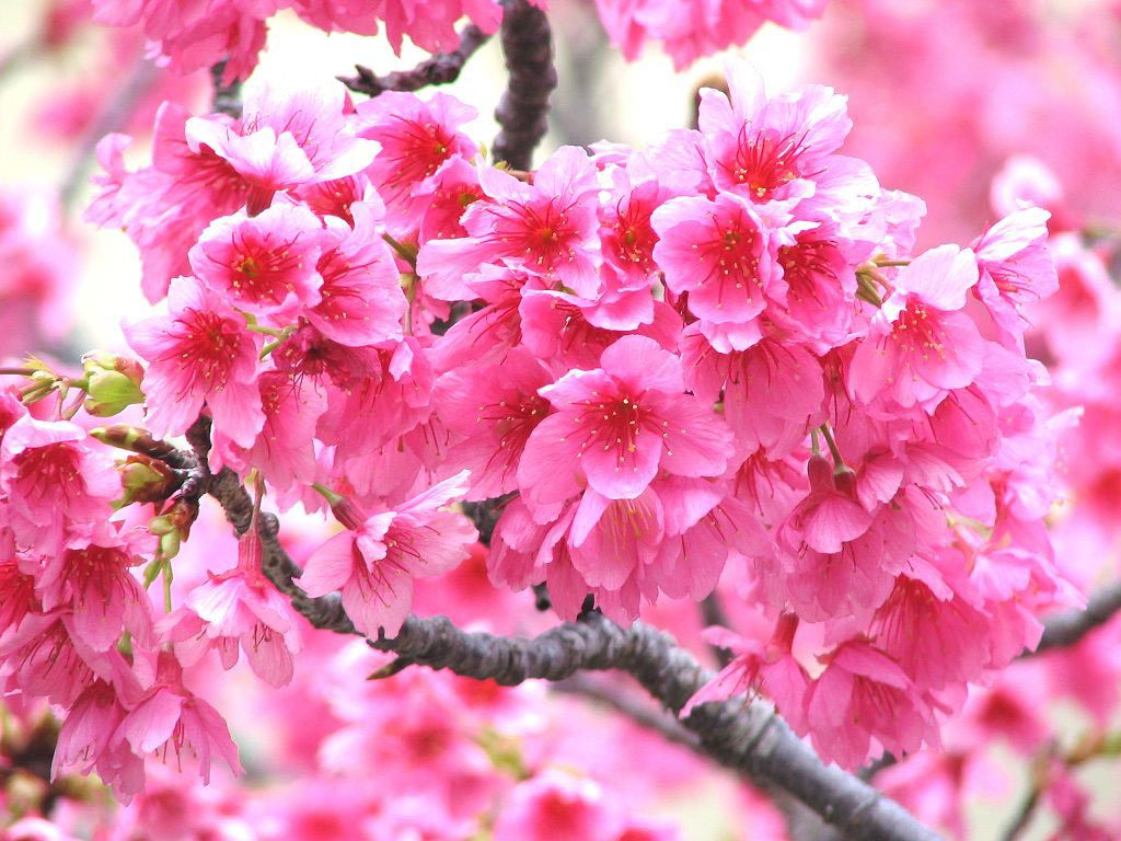 Flowers and fruits wallpapers - Desktop Wallpaper Gallery Nature Fruit Trees Flowers