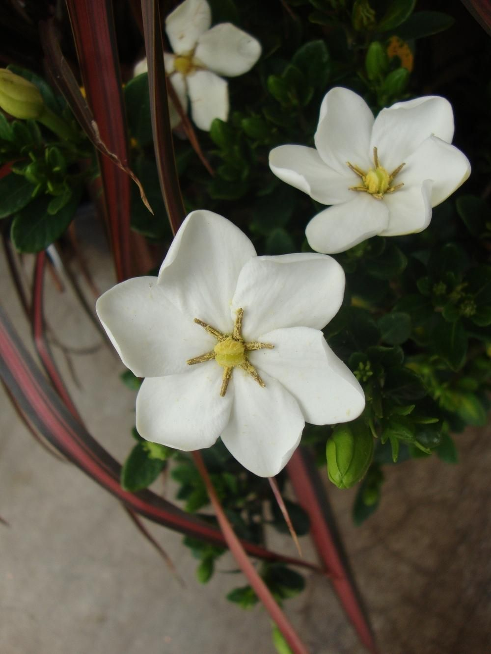 Gardenias Plant Care And Collection Of Varieties Garden Org