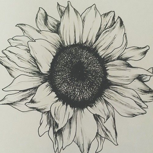 Drawings Of Sunflowers In Pencil Pinterest: Nuggwifee�...