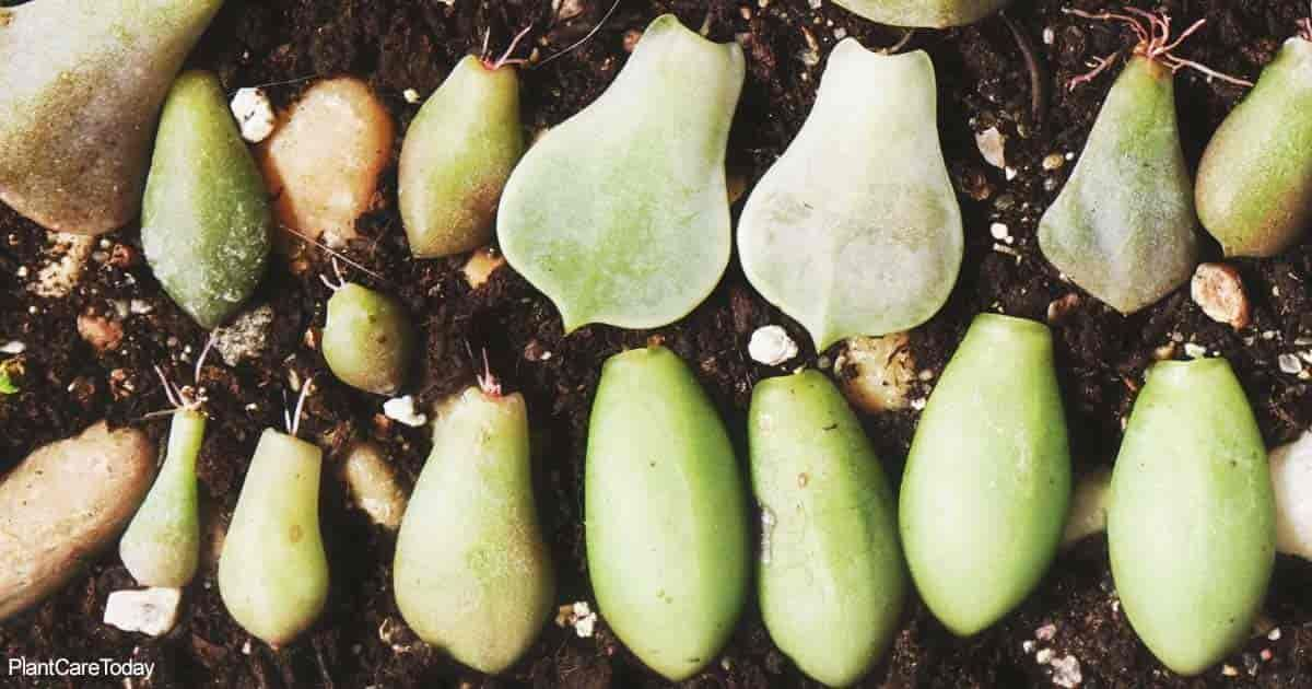 What To Do About Succulent Leaves Falling Off Your Plants #autumnleavesfalling