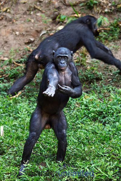 Bonobos vs pan paniscus