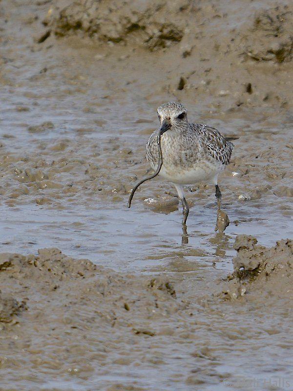 Grey Plover - Mali