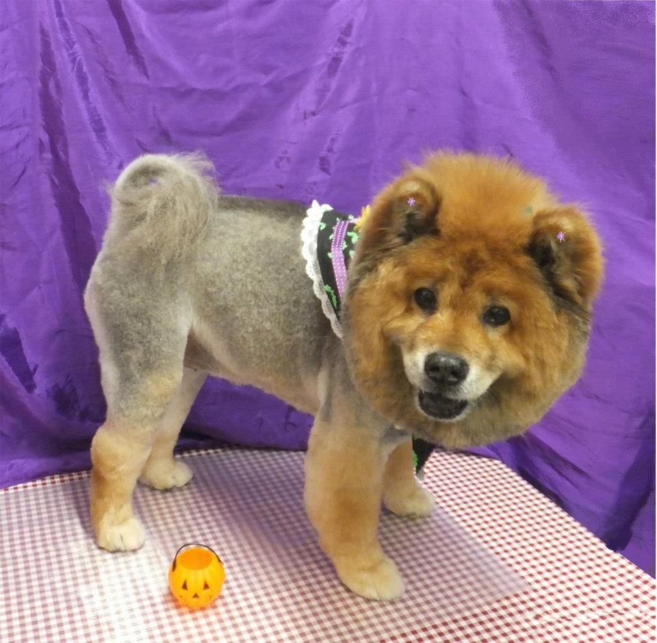Lion Cut On A Chow What A Good Girl She Was Dog Grooming