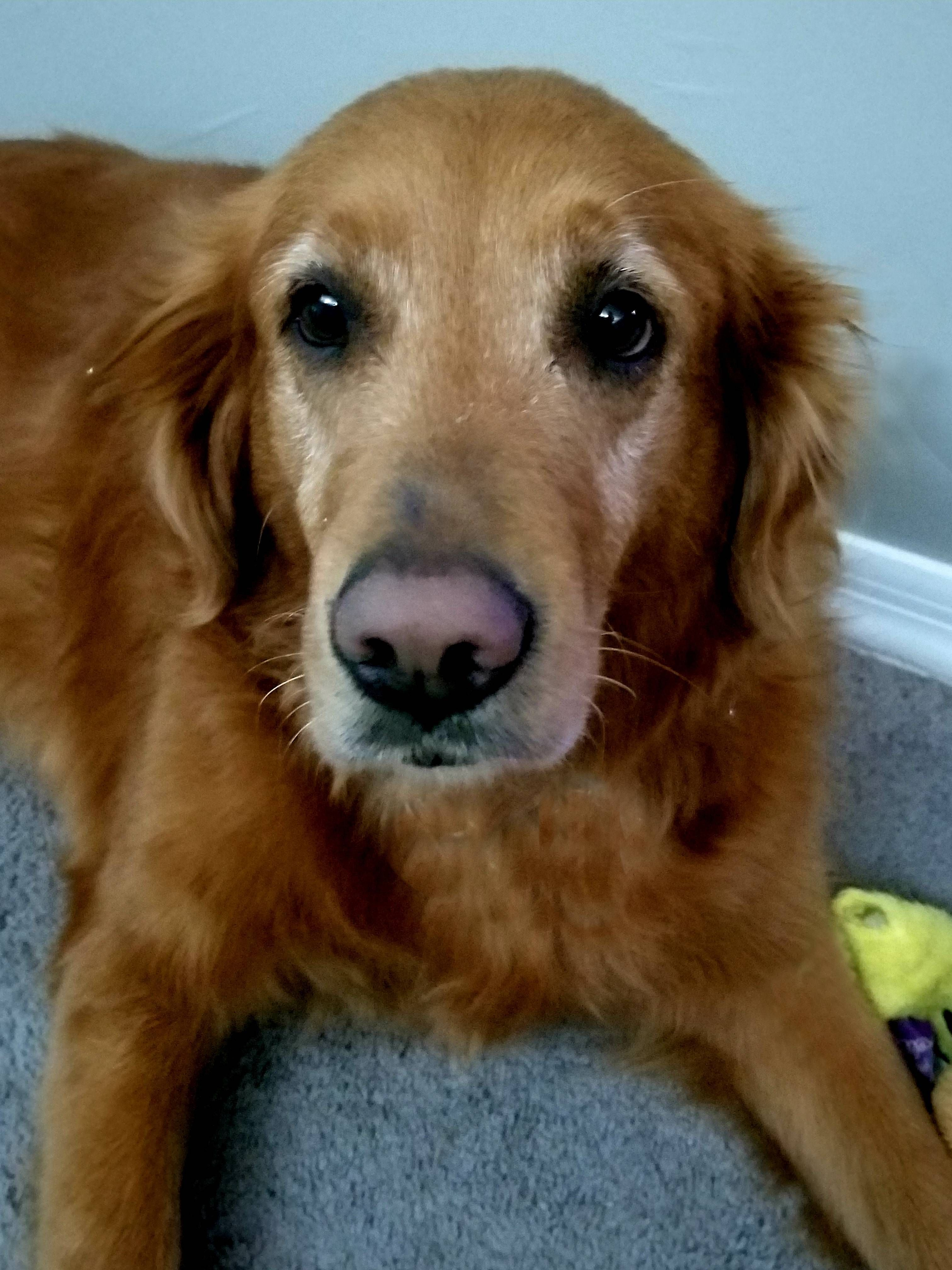Adopt Lily (PLACED) on Petfinder Dogs golden retriever