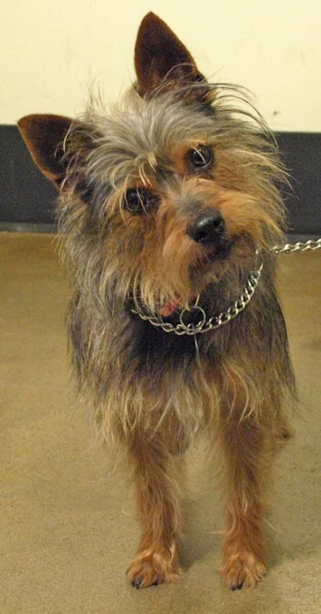 Adopt Riley On  Yorkie Terrier Mix, Yorkshire Terrier -9637