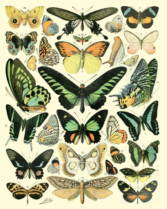 Butterfly Print, Tropical Butterfly Wall Art, Butterfly Collection Print, Butterfly Vintage Book Plate Print, Entomology Illustration