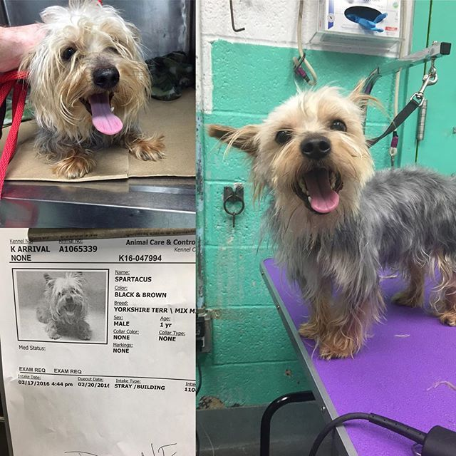 Mark Imhof On Instagram Please See Before And After Grooming By Mark The Dog Guy Of Spartacus A1065339 A Yorki Dog Groomers Dog Haircuts Dog Dental Cleaning