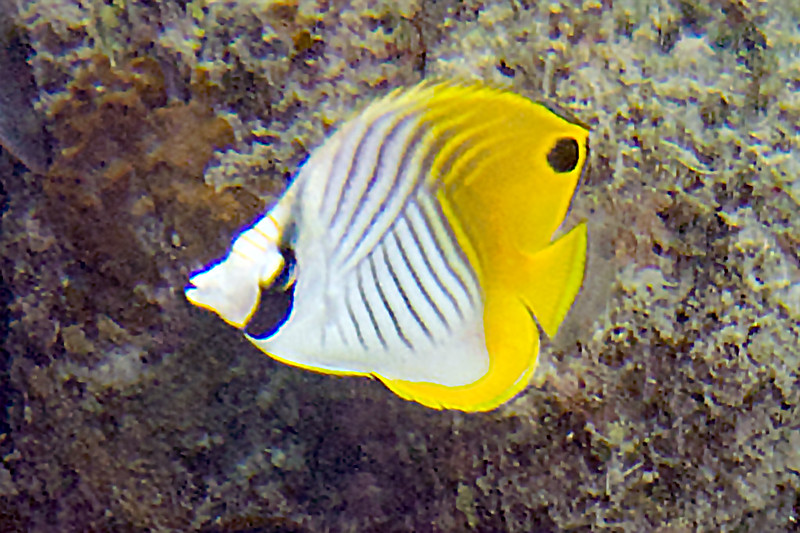 Threadfin Butterflyfish Chaetodon Auriga Juvenile Beautiful Fish Saltwater Aquarium Aquarium Fish