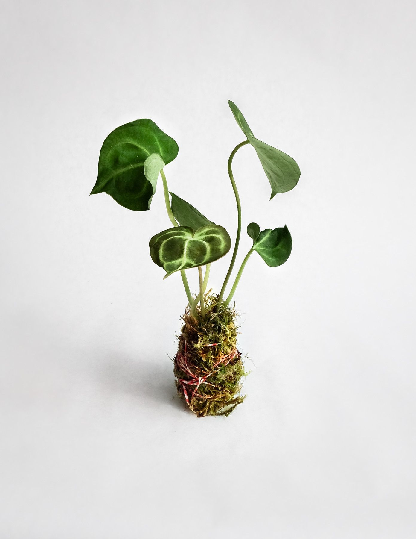 ingenious tropical foliage house plants. Anthurium clarinervium is a spectacular tropical plant  with large heart shaped leaves lined white veins Each plantlet has and tall Clarinervium Plantlet buy Pinterest Plants