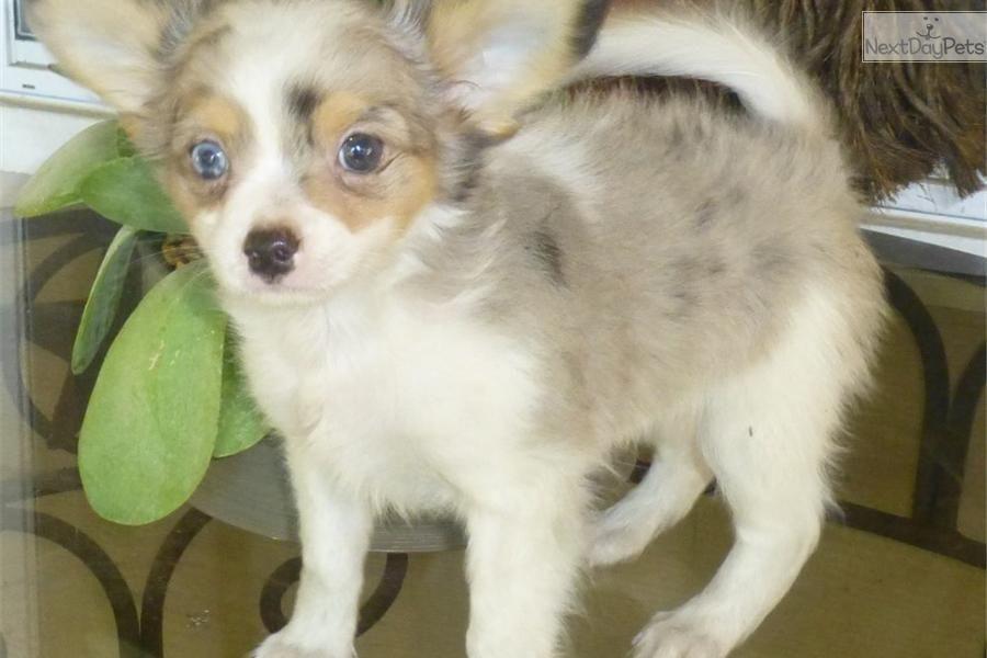 Meet Blue Boy A Cute Chihuahua Puppy For Sale For 700 Precious