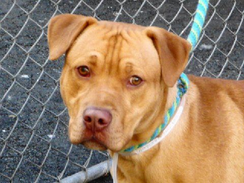 Help Rescue Ny Dog Save Jason Gorgeous Swt Shy 9mo M Rednose Lab Amstaff X Http Newjersey Craigslist Org Pet 2893579908 Html Adoption Dogs Animals