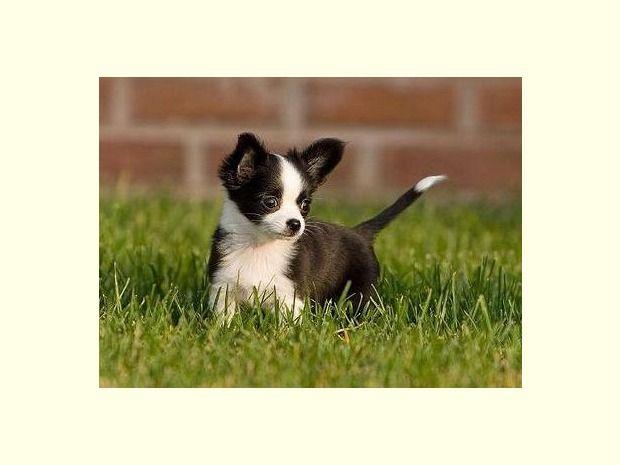 Super Wunderschöne Chihuahua Welpen Hund. Chihuahua
