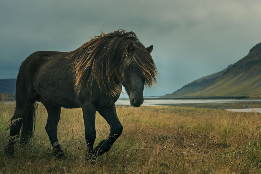 I went to Iceland in search of their wild horses, to photograph the raw and rugged beauty I had heard so much about. What I found instead was an incredibly serene creature, a gentle beast.