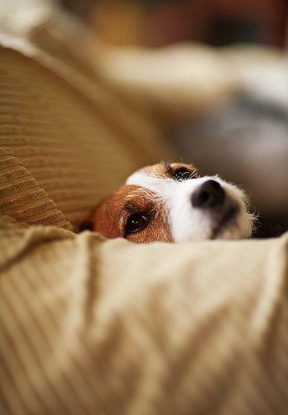 face-cute-eyes-jack-russell