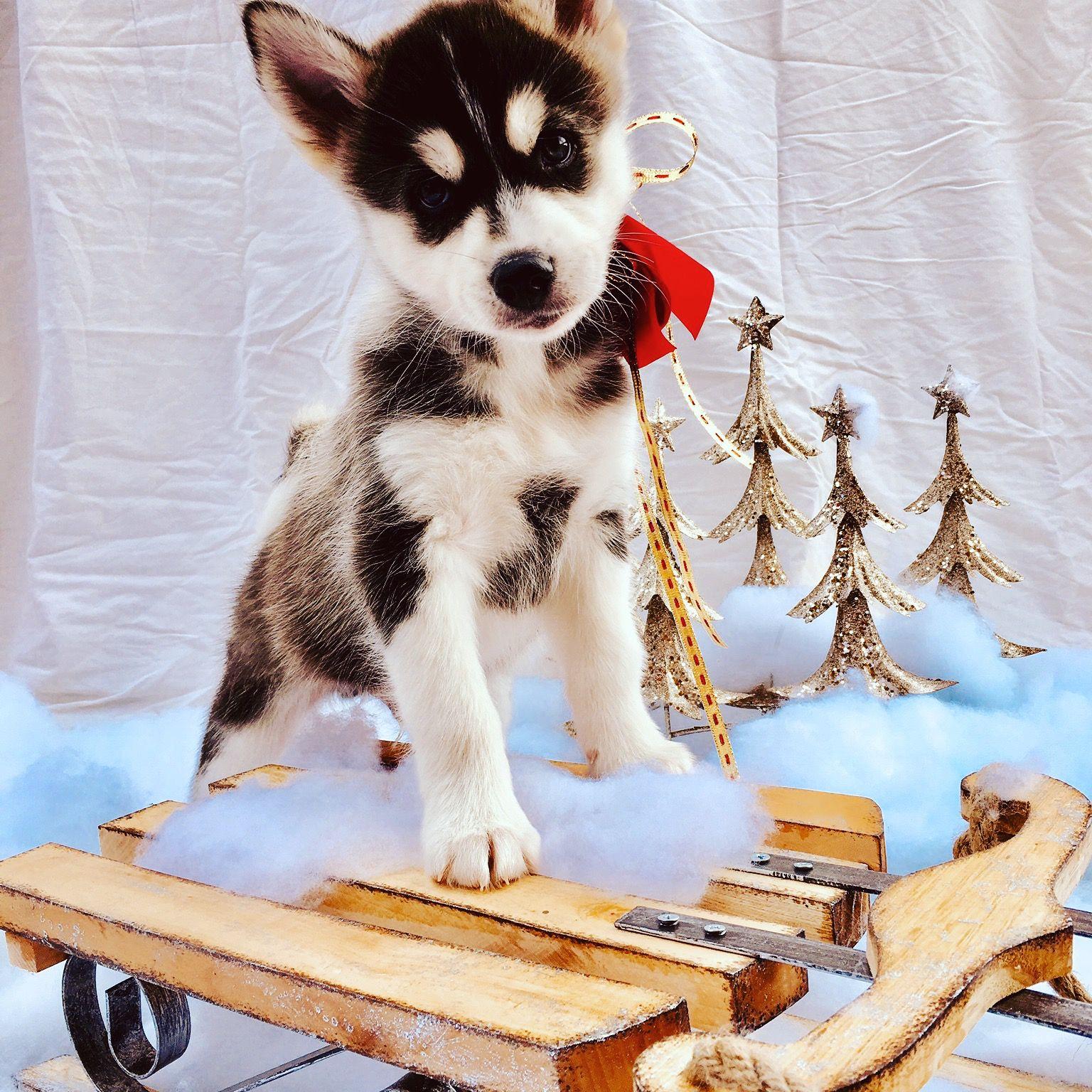 Pomklee F2: Pomsky puppy for sale near Nebraska USA