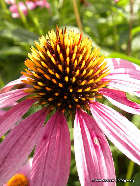 Purple Cone Flower Close Up by SStorrs6 on Etsy