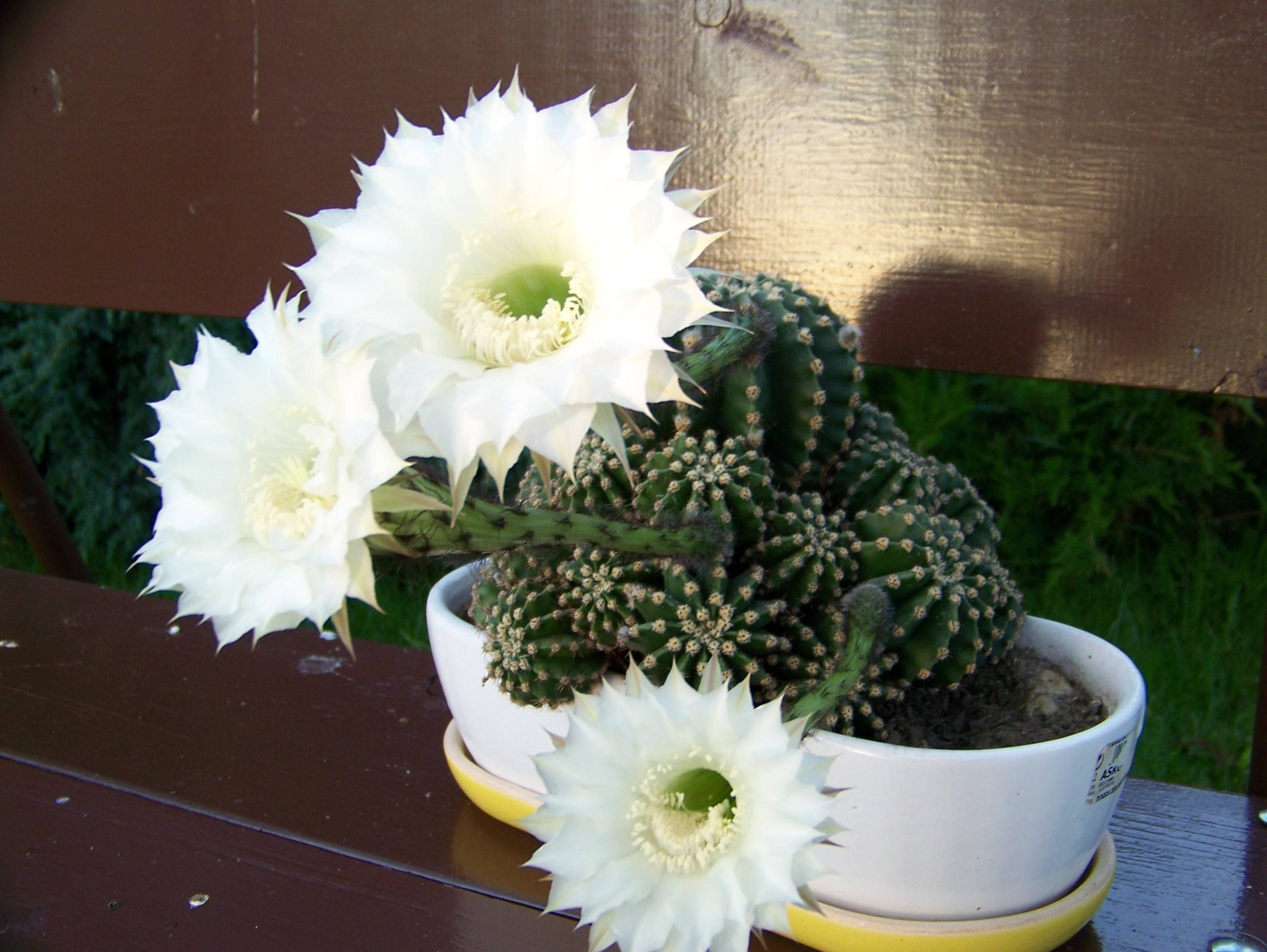 Caught My Cactus Blooming Usually Only One Flower Once A Year