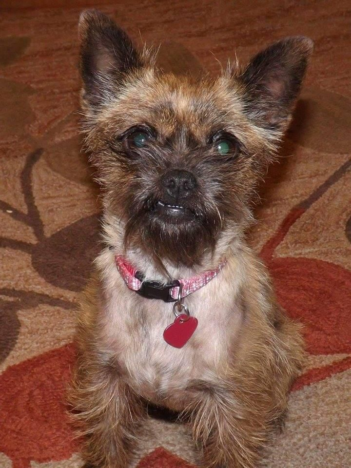 Adopt Sophia Adoption Pending On Yorkshire Terrier Pug Mix Rescue Dogs