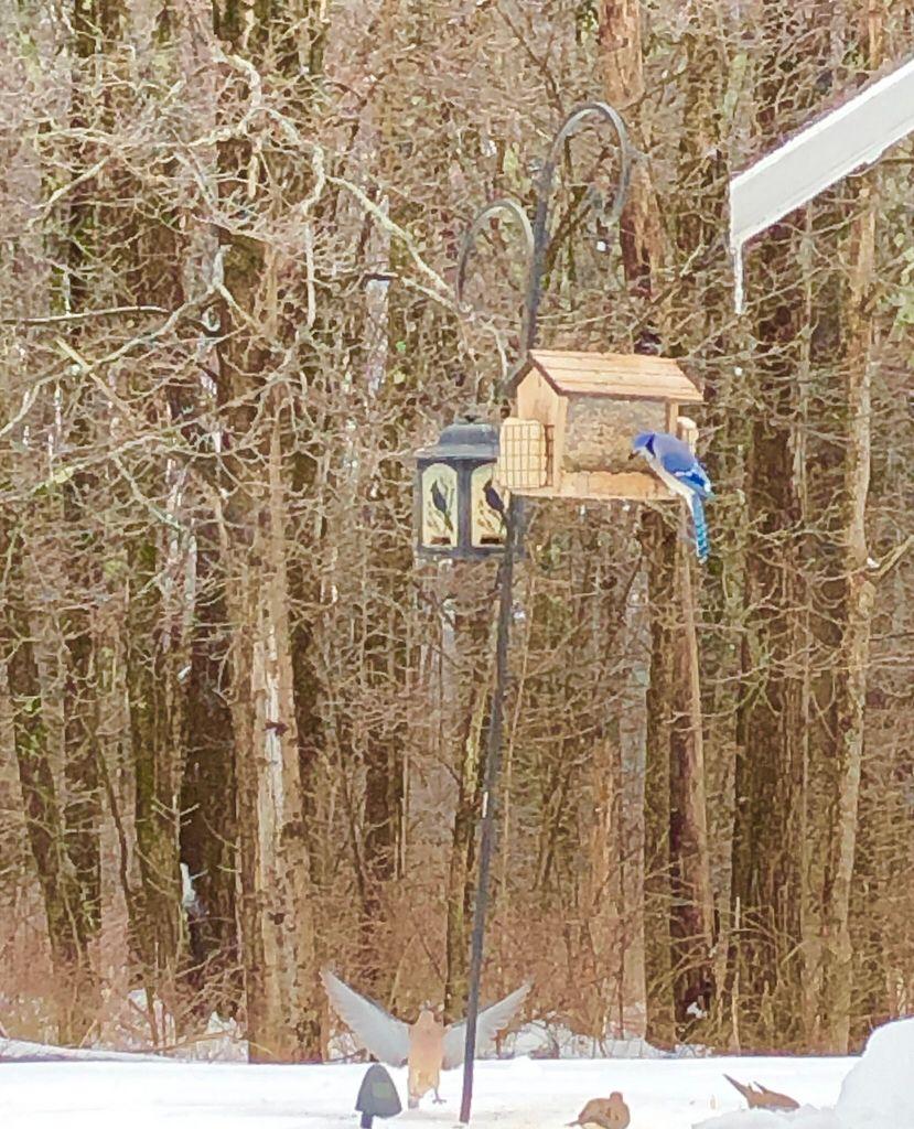 Blue Jay And Mourning Doves. Belchertown, Massachusetts