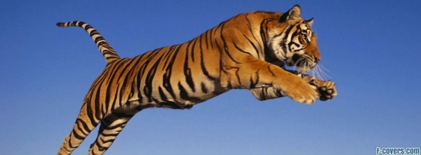 Bengal Tiger Jumping Facebook Cover Wildlife Wallpaper Hd Desktop Wallpapers