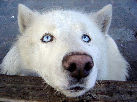 Wolf Dog Wolf Dog Adoption Wolf Dog As Pet Wolf Dog Attacks