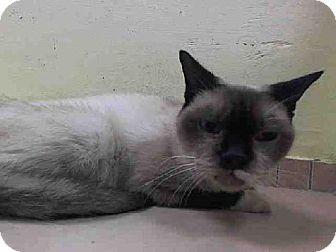 Brooklyn Ny Siamese Meet Doris A Cat For Adoption Http Www