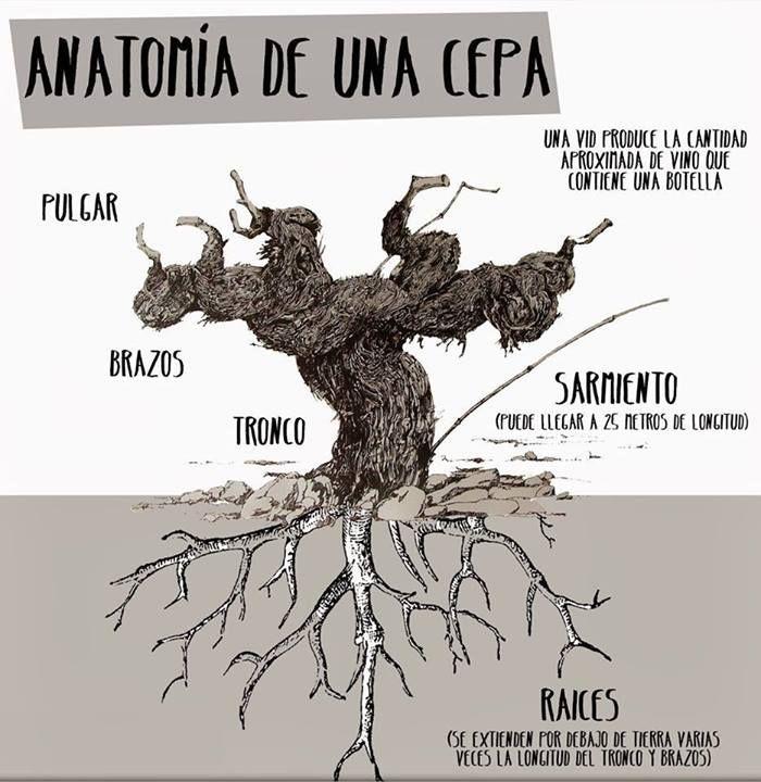 Anatomía de una cepa | Viño Vino Wine | Pinterest | Anatomía, El ...