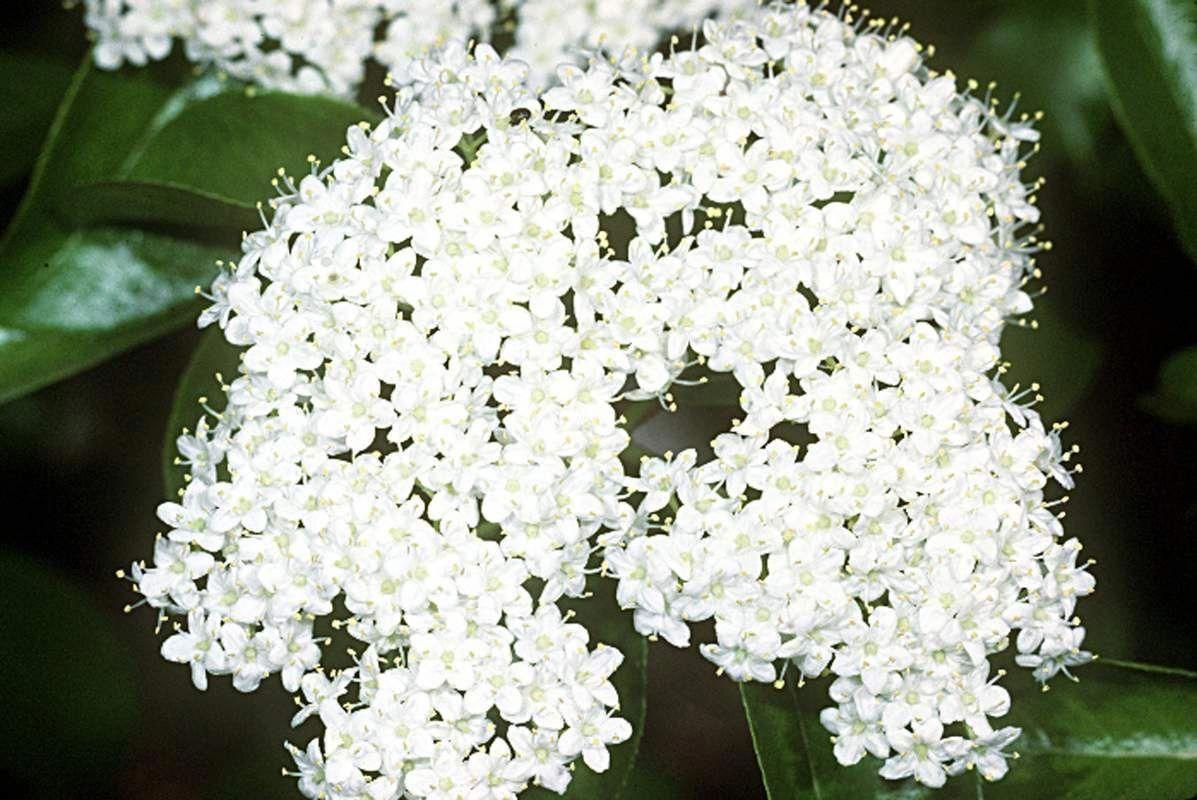 Viburnum prunifolium. 6 for 30 seeds Garden shrubs