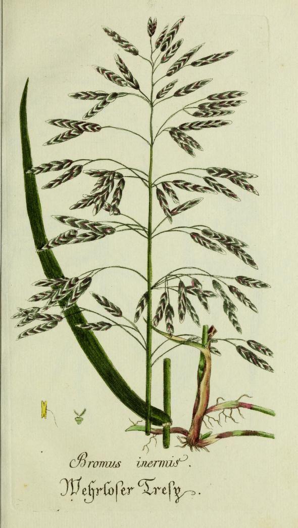 Plantarum indigenarum et exoticarum icones ad vivum coloratae, oder Sammlung nach der Natur gemalter Abbildungen inn- und ausländischer Pflanzen, Vol 3, 1788.