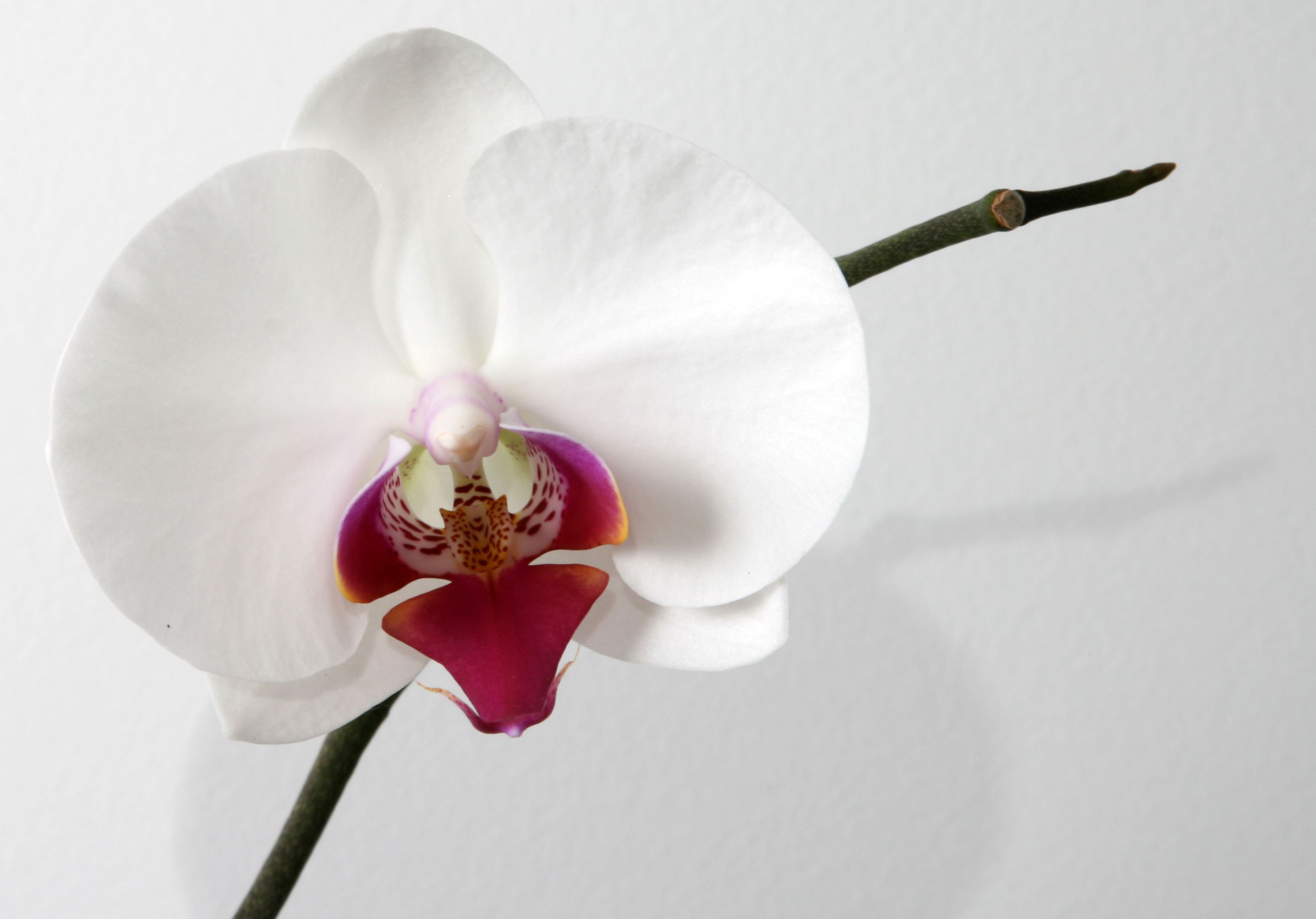 White Phalaenopsis Orchid With Dark Pink Centre Phalaenopsis Orchid Phalaenopsis Orchids