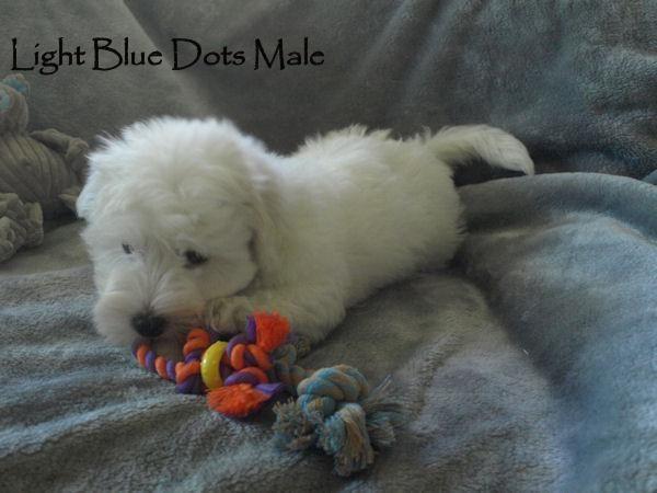Divosa Coton De Tulear Puppies For Sale Coton De Tulear Puppy