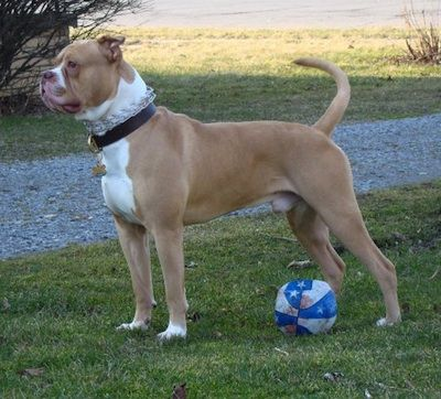 American Bulldog Information And Pictures American Bulldog