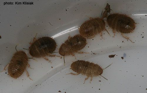 How to Get Rid of Baby Roaches in Kitchen   Bathroom  Identyfing Risks. How to Get Rid of Baby Roaches in Kitchen   Bathroom  Identyfing