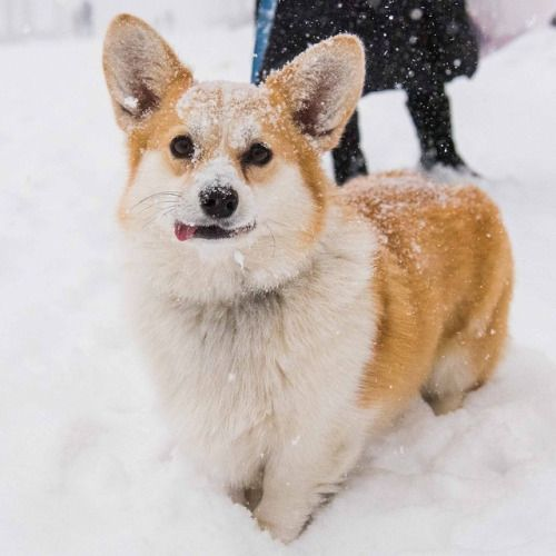 Pembroke Welsh Corgi Alert And Affectionate Corgi Corgi