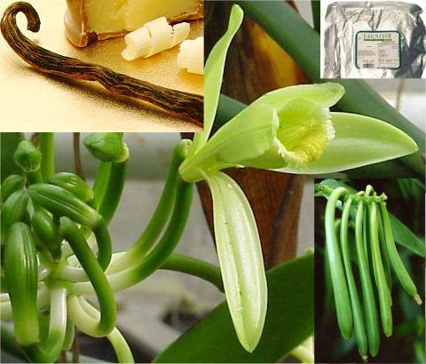1 Plant Rare Vanilla Planifolia Bean  Plant Cuttings//Ready to Grow//In-out door