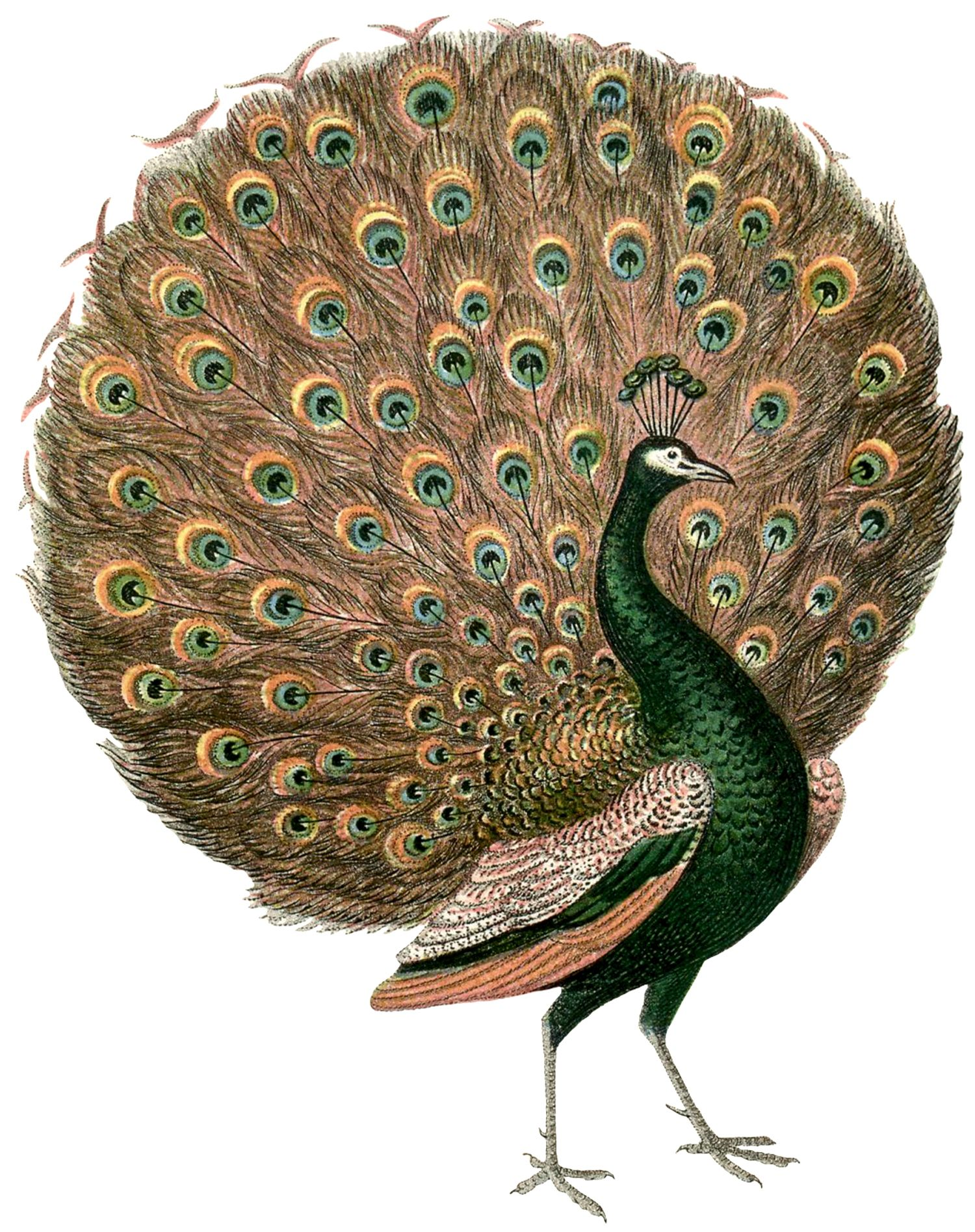 Gorgeous Vintage Peacock Images | peacocks | Peacock images