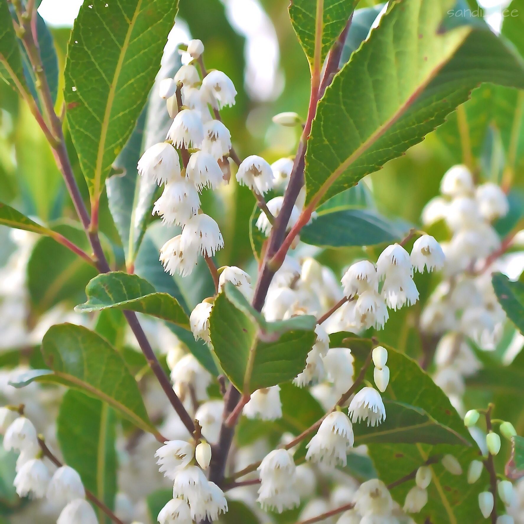 Blueberry Ash tree. Elaeocarpus reticulatus Nov 14
