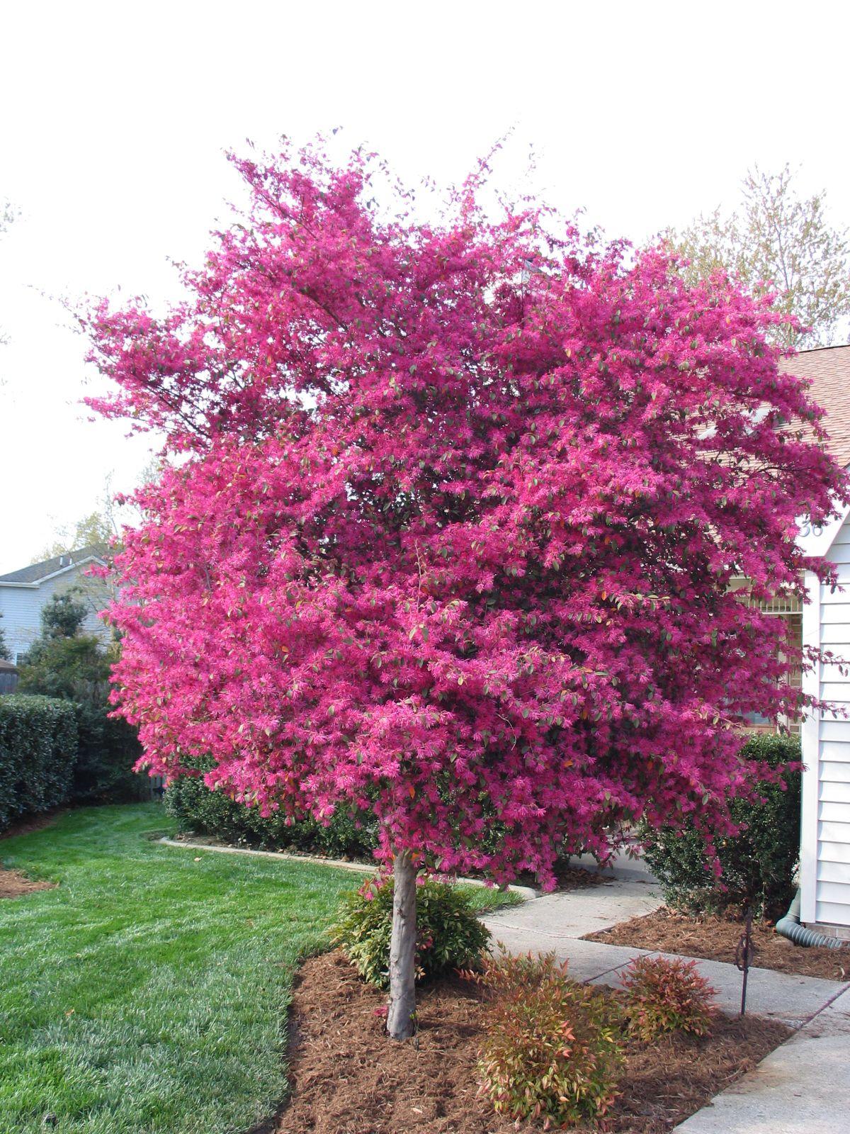 loropetalum tree in tish's yard