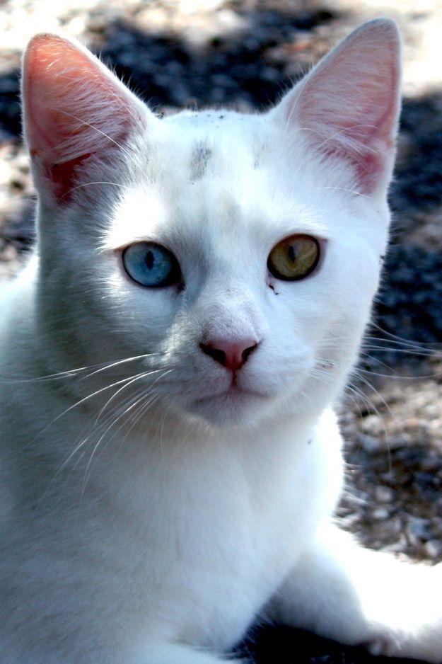 60 Gorgeous Cats With Heterochromia Iridum