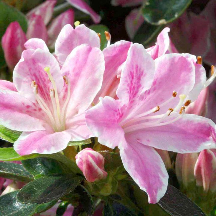"""Azalea japonica """"Kermesina Rose"""" : Height after 10 years 60cm (24"""").  Produces a neat dome of pretty rose-pink flowers with a white picotee edge.  Hardy."""