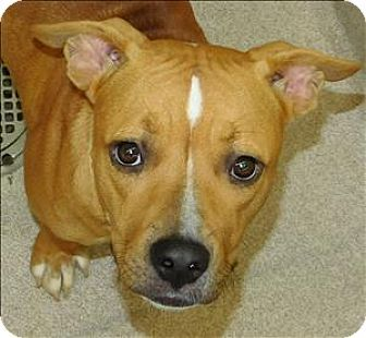 Pictures of Jeepers a Pit Bull Terrier Mix for adoption in Birmingham, AL who needs a loving home.