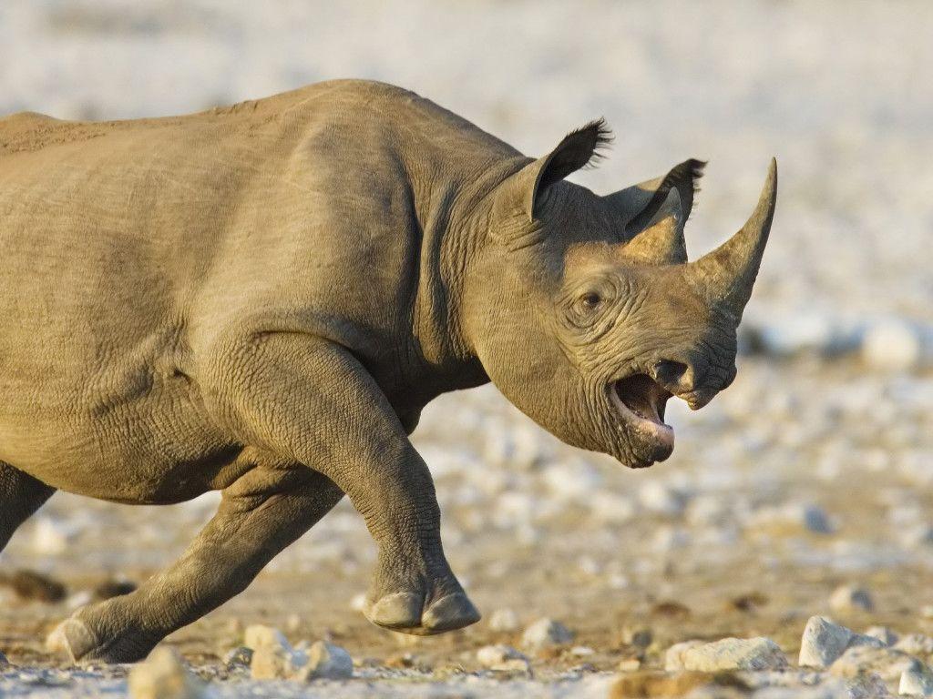Animal Picture Rhino Running Wild And Mad Hd Wallpaper Animal